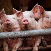 Пробиотик ветеринарный для промышленного производства свинины Лактобифадол фото