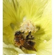 Смесь медово-пыльцовая фото