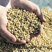 Донник (буркун-укр.) семена фото