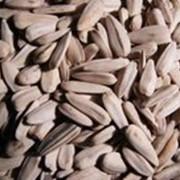 Семена люцерна, сорт «Семиреченская» фото