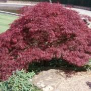 Клены Acer palmatum Burgundy Lace фото