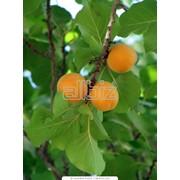 Джем абрикосовый Julius Meinl фото