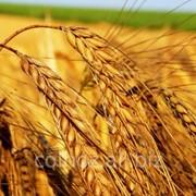 Пшеница второго класса в Молдове фото