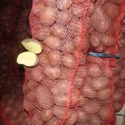 Картофель оптом по 65 за кг фото