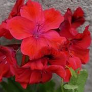 Пеларгония королевская фото