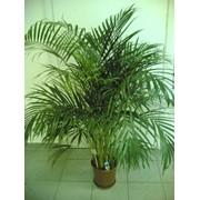 Пальмы комнатные фото