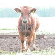 Перевозка живых животных, домашнего скота фото