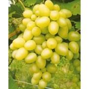Саженцы винограда ранних сортов Велес фото