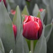 Сорт тюльпана ARMANI фото