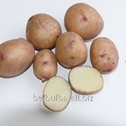 Картофель семенной Аврора 1 репродукции фото