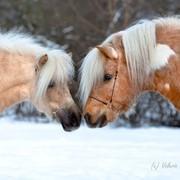 Разведение Шетлендских пони фото