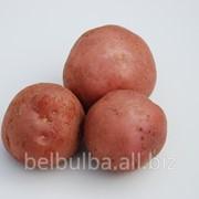 Картофель семенной Леди Розетта 1РС фото