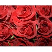 Розы (Голландия) фото