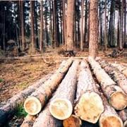 Лесозаготовительные работы. фото