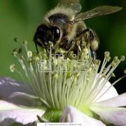 Пыльца фото