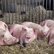 Продукция ветеринарного назначения для промышленного производства свинины Лактобифадол фото