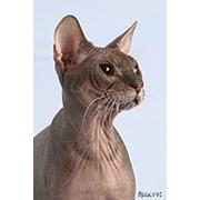 Купить кота сфинкс фото