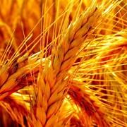 Пшеница Василиса фото