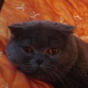 Вязка с вислоухим голубым британским котом Фокс-Берри фото