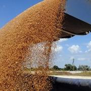 Подсолнечник, пшеница, кукуруза, ячмень с фермерского хозяйства фото