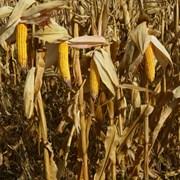 Семена кукурузы гибрид Хотин ФАО - 280 фото