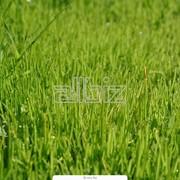 Травы газонные в рулонах и секциях фото