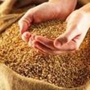 Семена озимой пшеницы Немчиновская 24 фото