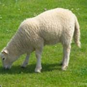 Домашние овцы фото