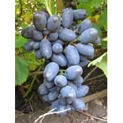 Саженцы, черенки, лоза винограда Кодрянка фото