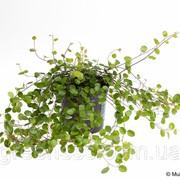 Мюленбекия спутанная -- Muehlenbeckia complexa фото