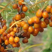 Облепиха обыкновенная (плоды) 50г фото