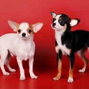 Импортные щенки чихуахуа (вывоз из США) фото