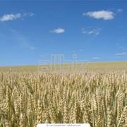 Выращивание пшеницы, ячменя, кукурузы, подсолнуха и сахарной свеклы сбор урожая фото