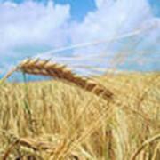 Зерно кукурузы фото