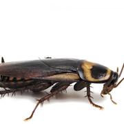 Уничтожение тараканов 2х-комнатная квартира (методом орошения) фото