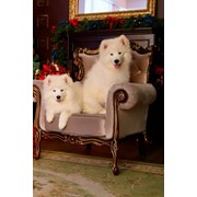 Puppies Samoyed фото