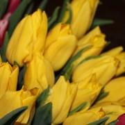 Тюльпаны голландских сортов фото