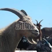 Разведение коз фото