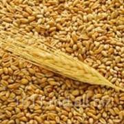 Семена озимой пшеницы фото