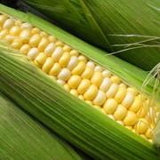 Микроудобрение для кукурузы Альфа Гроу Екстра - кукурудза фото
