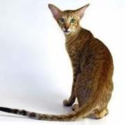 Кошка ориентальная короткошерстная продажа фото