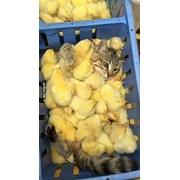 Цыплята бройлер фото