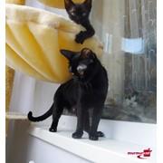 Котята породы Бомбей фото
