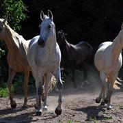 Лошади конного завода Ахал Теке фото