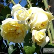 Роза Casino фото