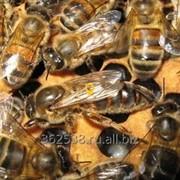 БАКФАСТ, пчелы фото