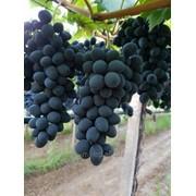 Виноград Молдова (1-сорт) фото