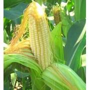 Семена гибридов кукурузы Pioneer П7709 фото