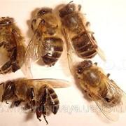 Пчелиный подмор, лечебные пчелы фото