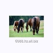 Лошадь ахалтекинскаой верховой породы фото